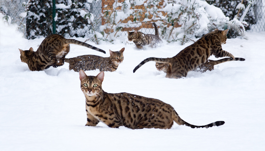 Six Bengal Cats playing in Snow