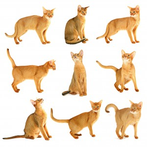 Abyssinian cat - Multiple